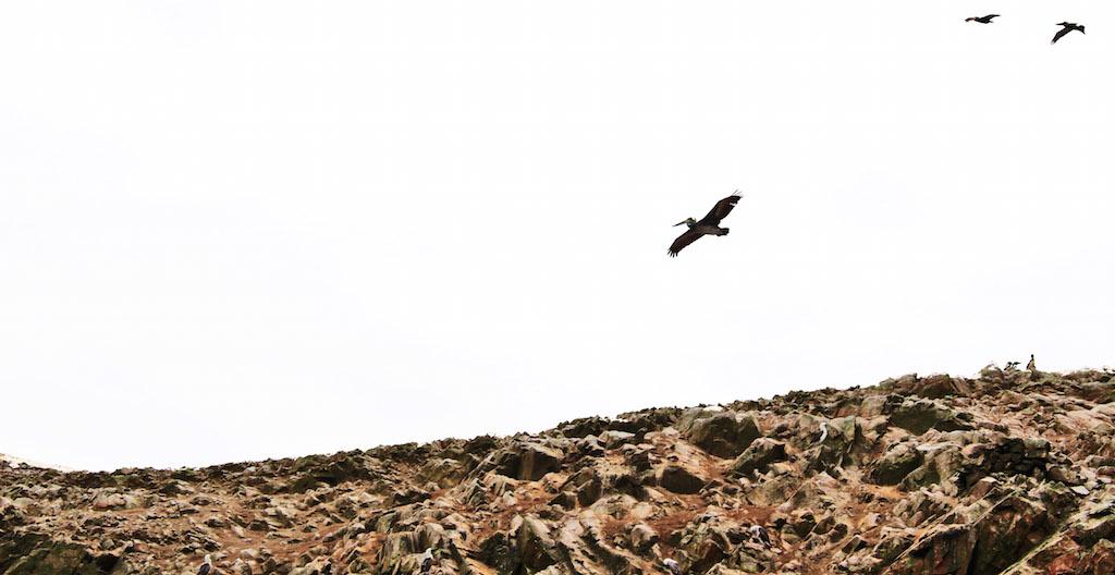 Ballastres Isles, Pelicans