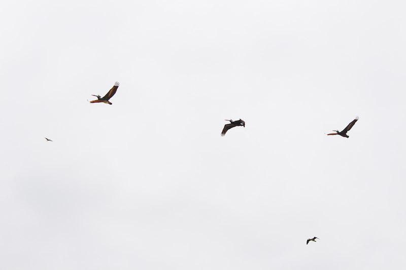 3 pelicans flying copy