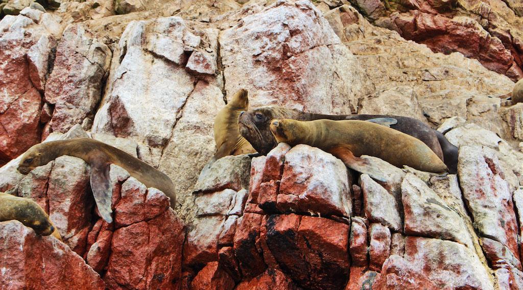 Male Sea Lion, Paracas
