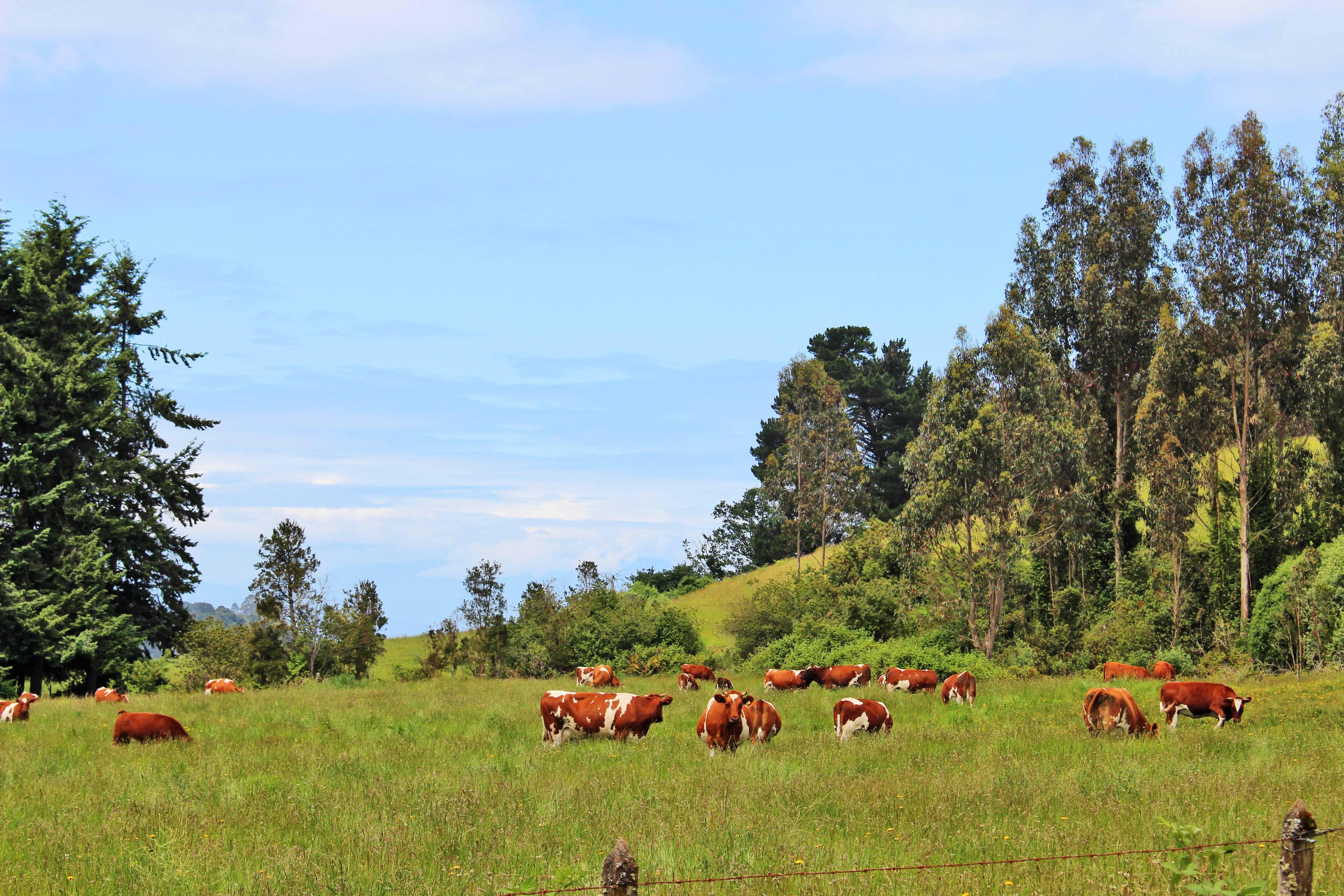 Cows Frutillar
