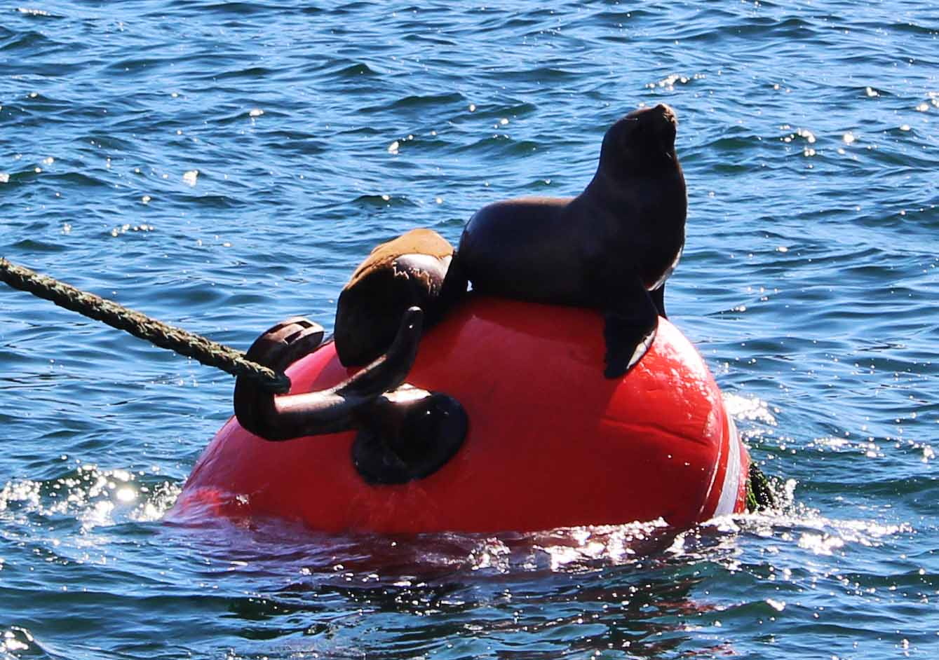 Sea Lions on Boye, Inca to Inuit, Navimag