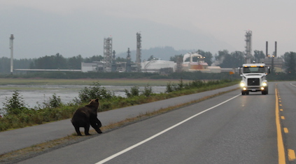 Bear on road