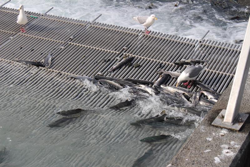 Fish on Dam