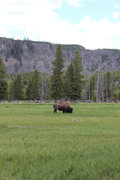 Lone Bison Yellowstone